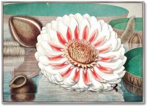 Постер A gigantic water lily in bloom 105X75 CM