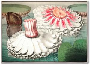 Постер Water lily during bloom 105X75 CM