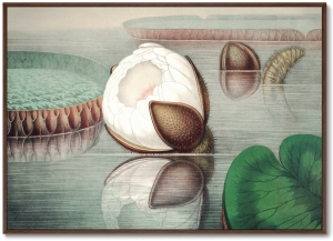 Постер Form of a gigantic water lily 105X75 CM