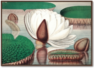 Постер Opening of a gigantic water lily 105X75 CM