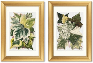 Диптих Various Ivy Leaves from The Ivy 51X71 / 51X71 CM